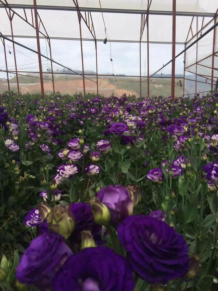 vườn hoa cát tường màu tím