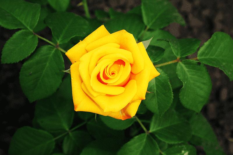 Hoa hồng vàng tặng Vợ hoặc người yêu