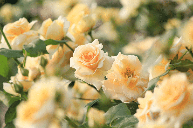Hoa hồng vàng tặng con cái