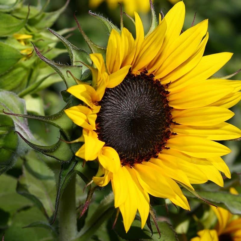 hoa hướng dương tuyệt đẹp