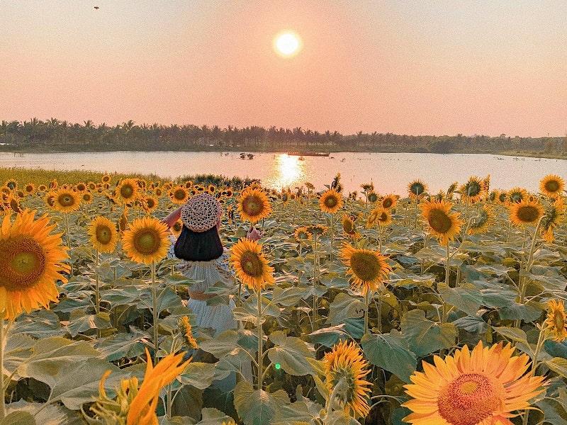 hoa hướng dương đẹp nở bên hồ