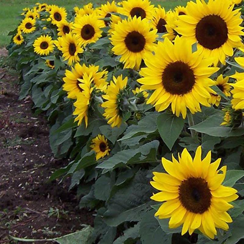 hoa hướng dương nở rộ đẹp nhất