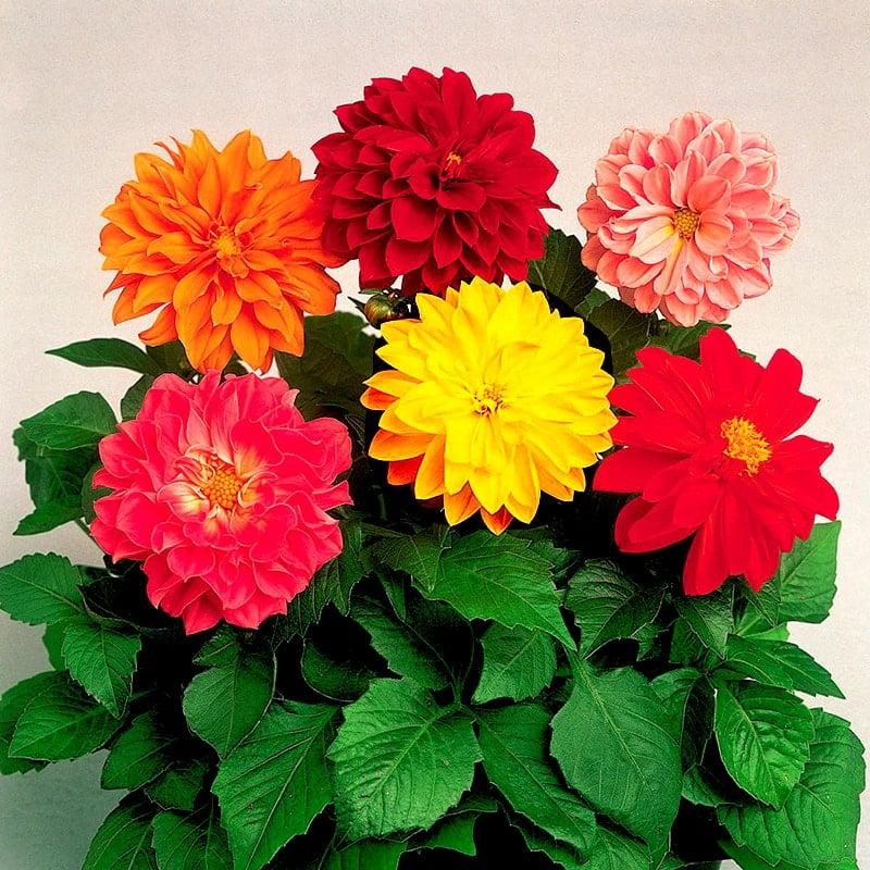 hoa thược dược nhiều màu sắc
