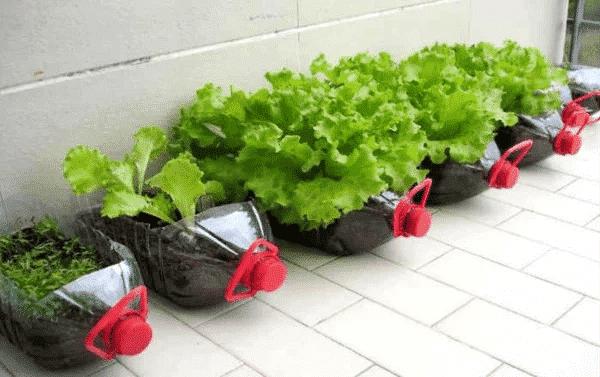 trồng rau trong chai nhựa, tiết kiệm không gian sinh hoạt