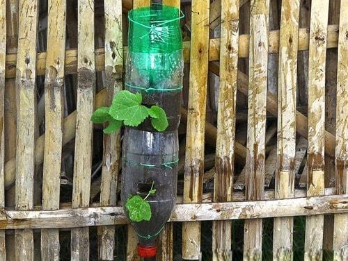 cây rau mắt đầu phát triển từ chai nhựa