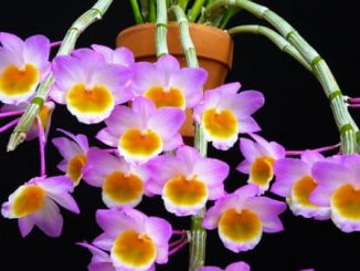 Cây hoa lan long tu đá-Cách chăm sóc 6