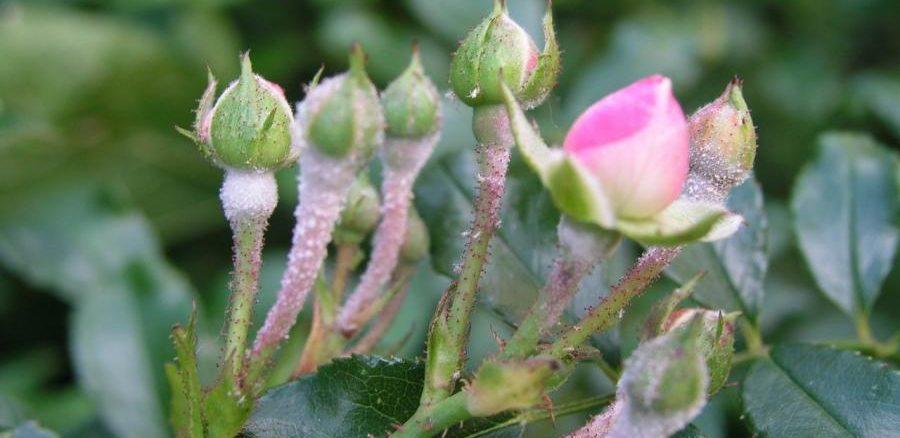 Bệnh mốc xám trên cây hoa hồng vào mùa mưa